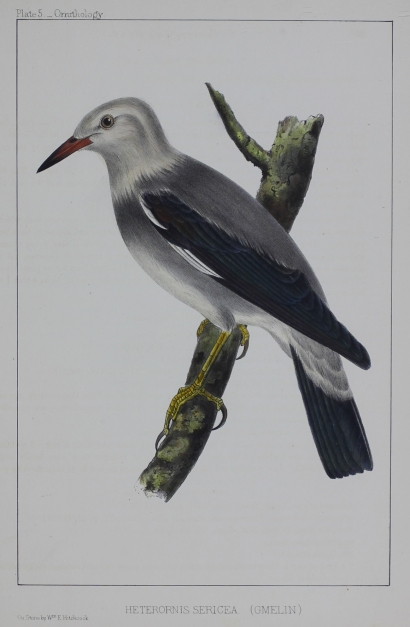 Plate 5 _ Ornithology. Heterornis Sericea (Gmelin). On Stone by Wm E Hitchcock.