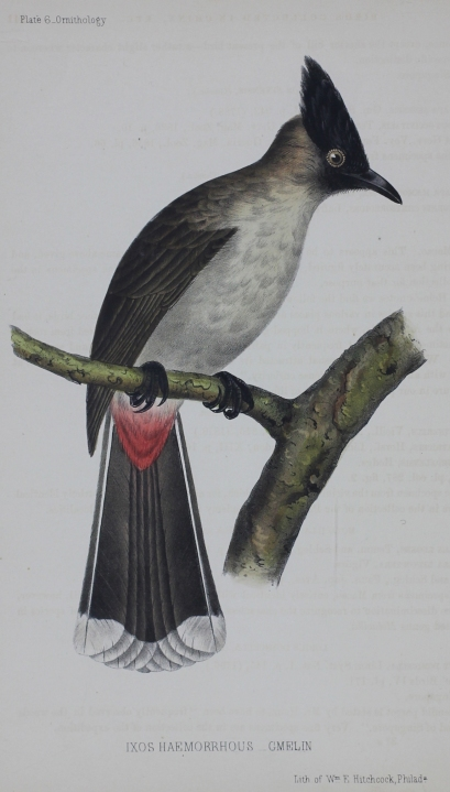 Plate 6 _ Ornithology. Ixos Haemorrhous _ Gmelin. Lith of Wm E Hitchcock, Phila.