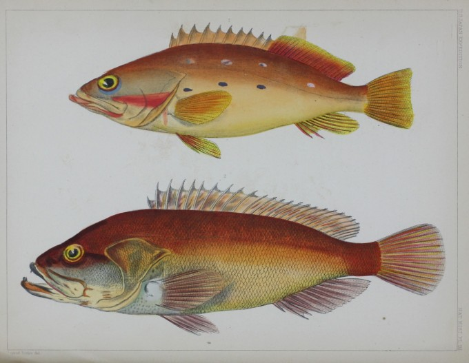 Nat. Hist. Pl. III. No. 1 - Serranus Tsirimenara. No. 2 - Serranus Marginalis. Bayard Taylor del.