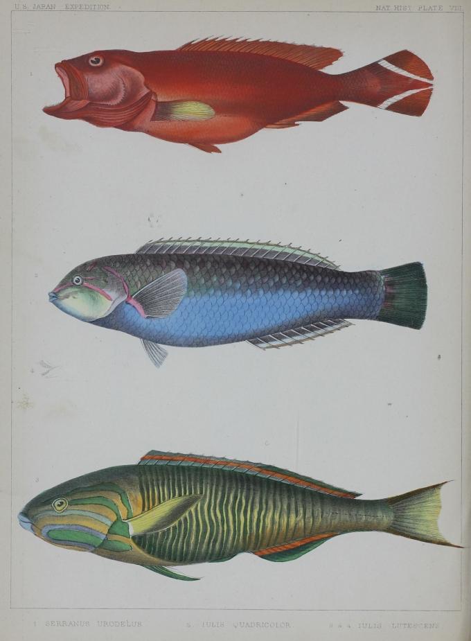 Nat. Hist. Pl. VIII. 1. Serranus Urodelus. 2. Iulis Quadricolor. 3 & 4 - Iulis Lutesens.