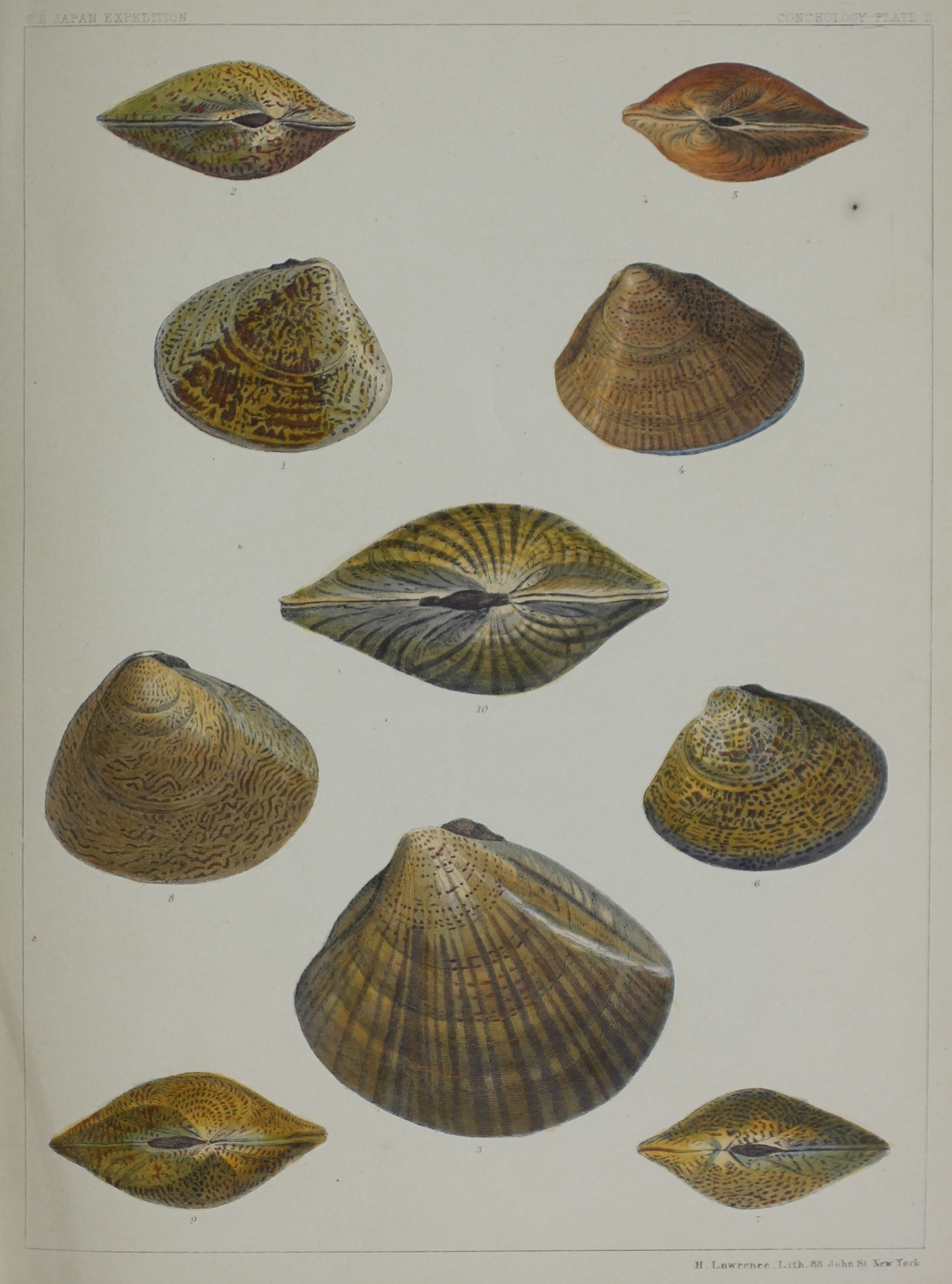 Conchology Plate II. H. Lawrence, Lith. 88 John St. New York